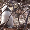 "As you saw in our previous pictures the ""Blue Footed Boobies"" are pretty cute when they're adults but check them out when they're babies... pretty adorable, right! :-)<br /> <br /> Click play above and you'll see why this is an absolute Paradise if you're a bird lover!"