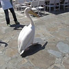 When they said have a look out for Mykonos' mascot, the Pelican, we didn't know they meant a real one... check this cute guy out!!