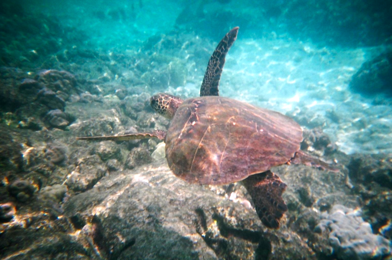 """Check out this Sea Turtle. We were super excited to see this guy!! It's amazing how elegant they look floating around down there. :-)<br /> <br /> FYI, we spent a week in Kona & on the Big Island in 2011... check out what we did here <a href=""""http://nancyandshawnpower.com/category/destinations/north-america/united-states/hawaii/hawaii-the-big-island/"""">http://nancyandshawnpower.com/category/destinations/north-america/united-states/hawaii/hawaii-the-big-island/</a> and see some Video from when we went back to """"Turtle Bay"""". :-)"""