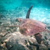 "Check out this Sea Turtle. We were super excited to see this guy!! It's amazing how elegant they look floating around down there. :-)<br /> <br /> FYI, we spent a week in Kona & on the Big Island in 2011... check out what we did here <a href=""http://nancyandshawnpower.com/category/destinations/north-america/united-states/hawaii/hawaii-the-big-island/"">http://nancyandshawnpower.com/category/destinations/north-america/united-states/hawaii/hawaii-the-big-island/</a> and see some Video from when we went back to ""Turtle Bay"". :-)"