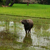 There's a Water Buffalo, a common sight in Vietnam & Cambodia.