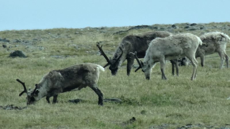 Even Reindeer could be spotted along the way during our drive! :-)
