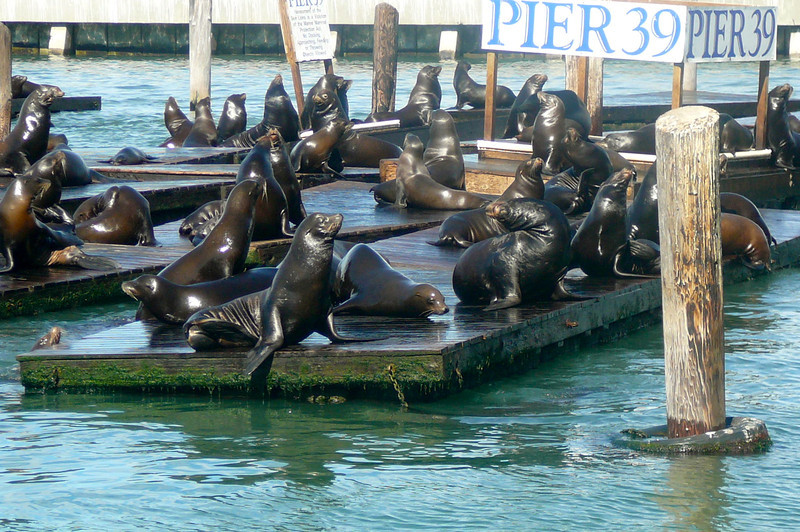 "A very popular attraction when visiting ""Pier 39"" in San Fran is their Famous Sea Lions."