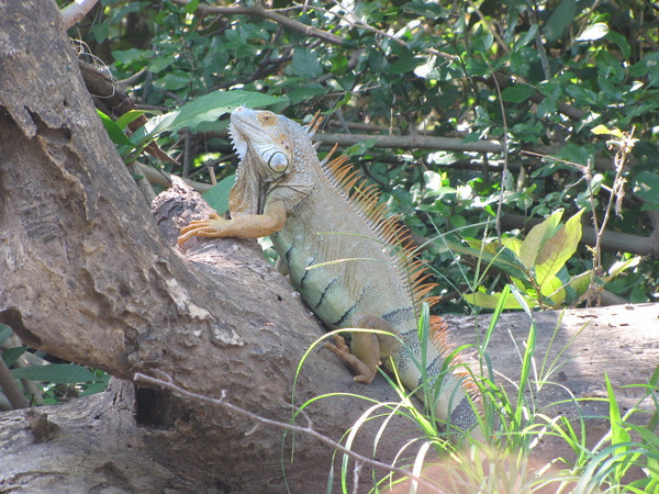 A common site during our time in Costa Rica was seeing these Beautiful Iguanas... quite the creatures!!