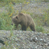 "Definitely our highlight on the ""Tundra Wilderness"" Tour was seeing this Grizzly Bear... cool!!"