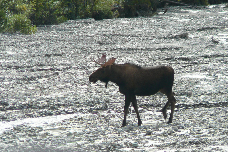 "You can take a couple of different Tours into Denali Park... we took the more in depth, highly recommended, ""Tundra Wilderness"" Tour where you have the best chance to see Wildlife... and sure enough, about 5 mins in we saw a Moose!!"