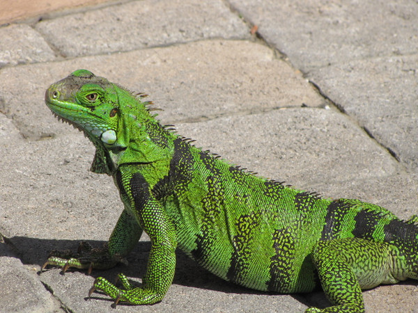 Check out this funky-colored Iguana!! When walking around Aruba you'll see these little (and big) guys everywhere... and they're in all kinds of colors & sizes... it's pretty fun to check them all out when there! :-)