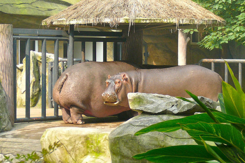 "And Pandas weren't the only animals at the ""Chongqing Zoo""... check out the Hippos!!"