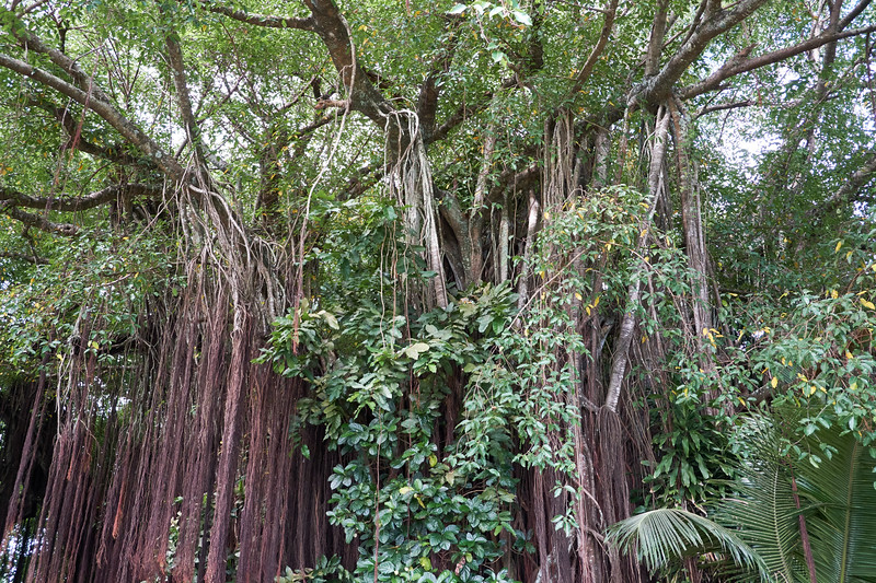 Banyon Tree that is over 100 years old.