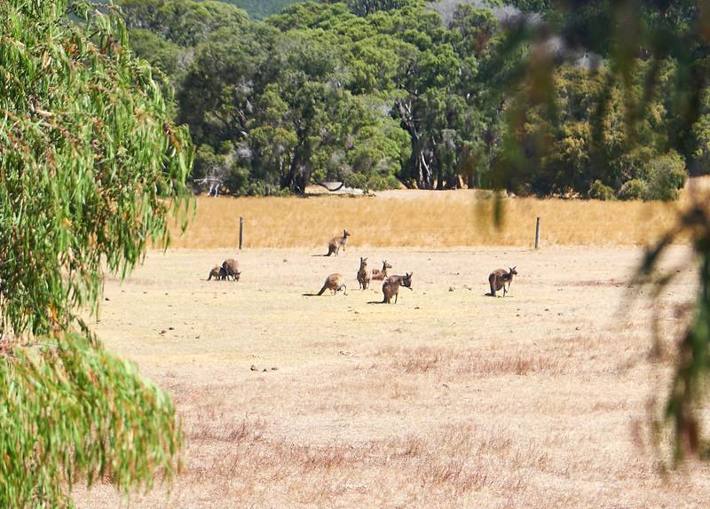 Kangaroos (from bus).