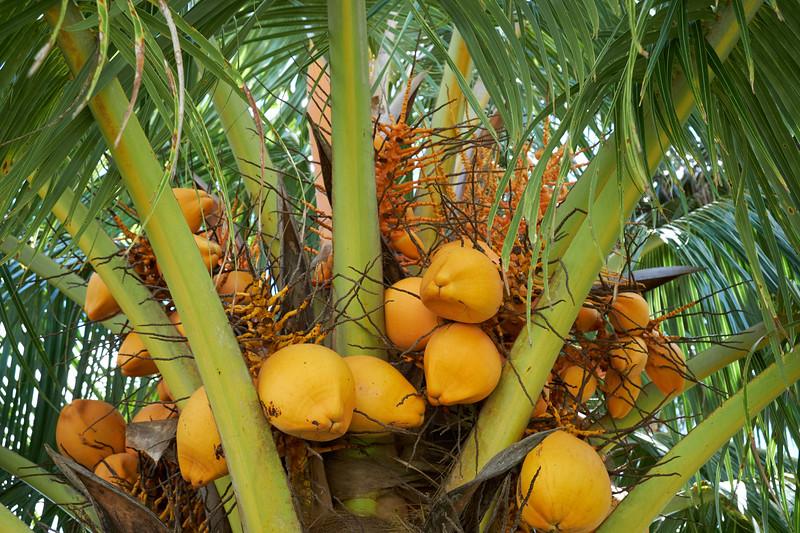 Growing coconuts.