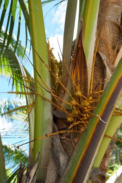 Baby coconuts.