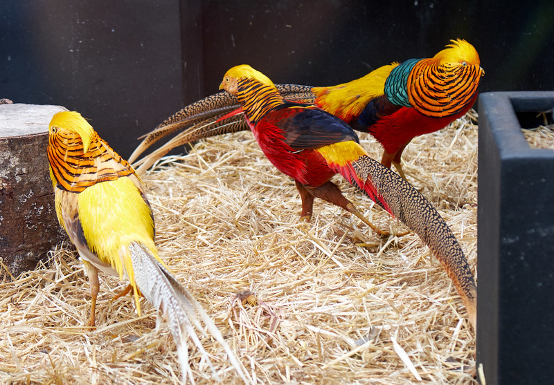 Red Golden pheasants and a Yellow Golden Pheasant.