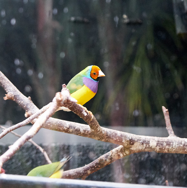 Gouldian finch or the rainbow finch.