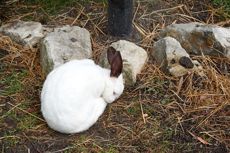 Californian Giants, white rabbits with dark ears.