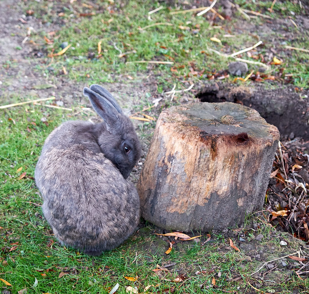 Flemish Giant rabbit.