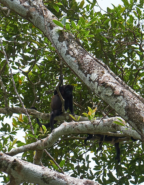 Mantle howler monkey.