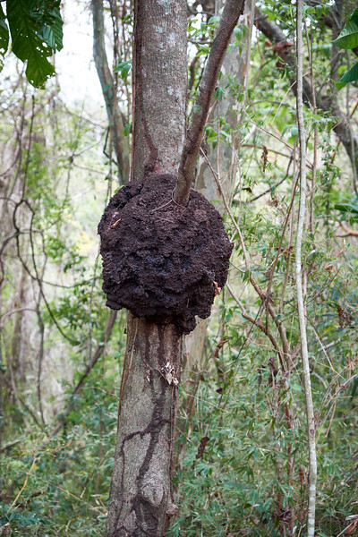 Termite nest in trees. Newer houses are not built of wood because of how vigilant the termites are.