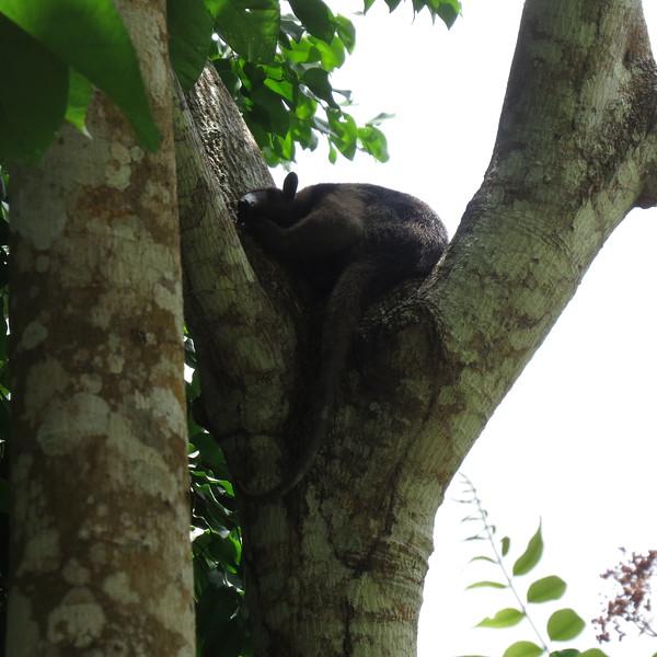 Sleeping Anteater.