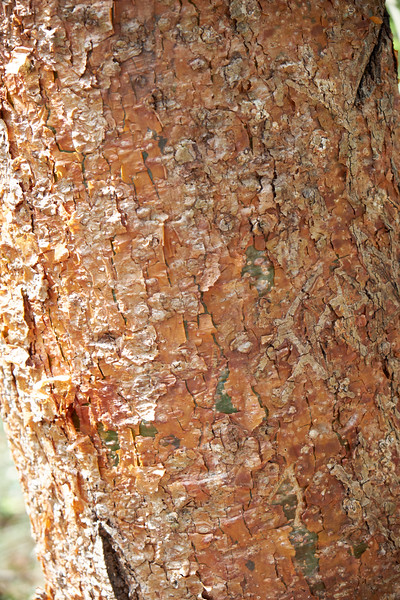 The Naked Indian Treeree is very common in Panama. It is also known as The Tourist Tree because it's bark peels like the tourists' sunburns.