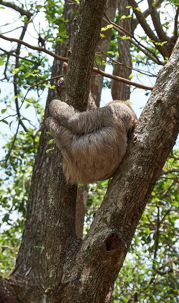 Closer look at the very hairy sloth.