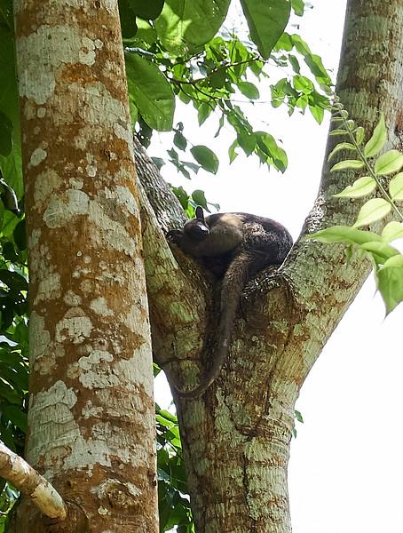 Anteater sleeping.