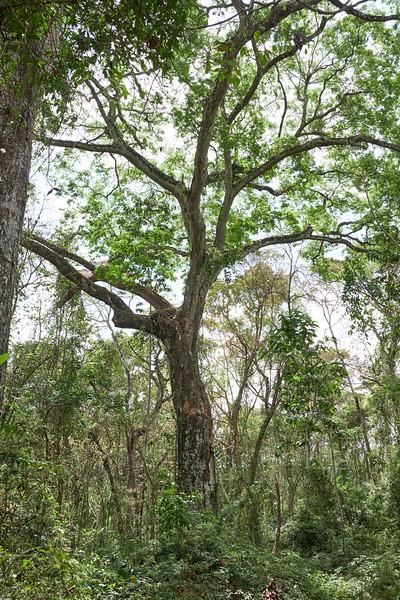 The cashew tree is soft enough to easily carve. The natives hollowed out the trunks for their canoes.