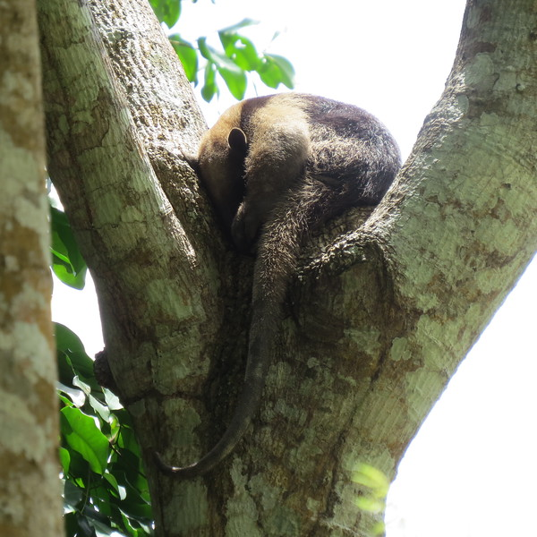 Closer look at sleeping anteater.