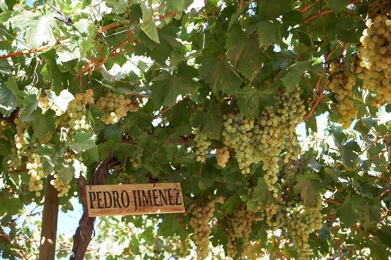 Five differnt types of muscat grapes are used to make pisco.