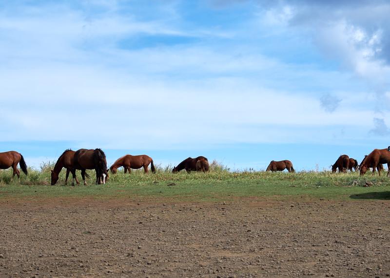 Horses roam free on Easer Island.