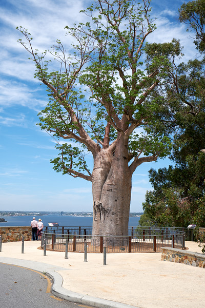 This Boab Tree was moved in 2008. At the time the tree was over 750 years old. This was the largest land journey of a tree of this size in history.