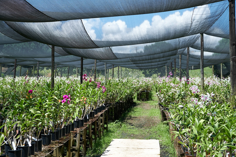 South Sea Orchids has 40-50,000 orchids plants growing.