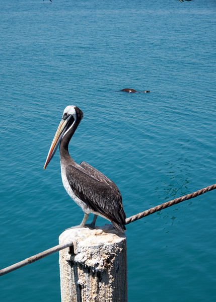 At the dock, pelican with sea lion swimming in the background.