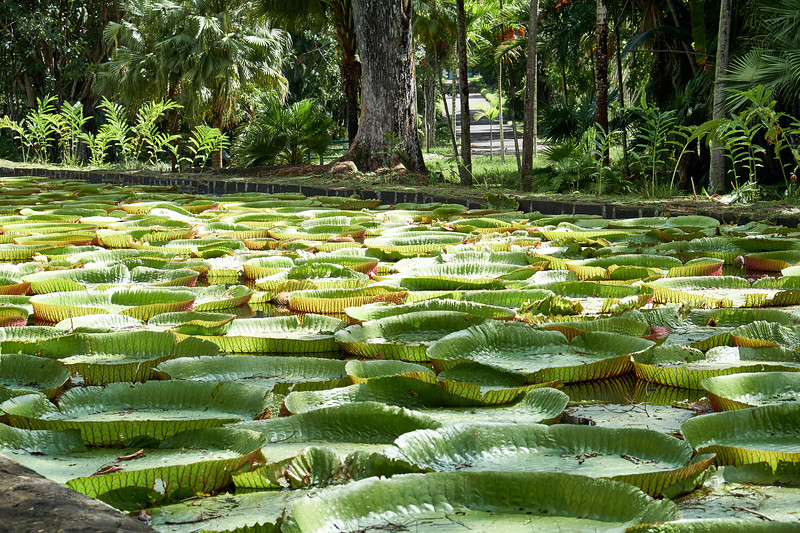 Giant water lilies. They remind me of Reese's Peanut Butter Cups!