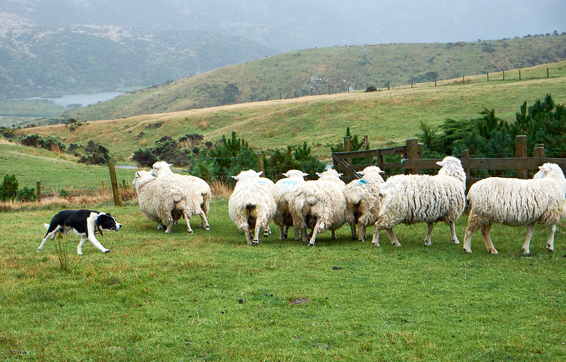 Good herding dogs control sheep calmly without excessive commotion.