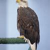 Eagle in Juneau on Alaska Dance Cruise - 31 May 2003