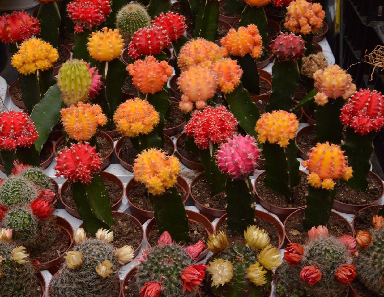 Cactus Plants.