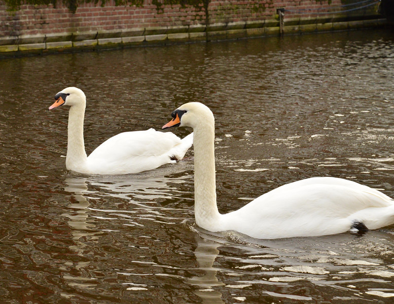 Swans In The Canal.