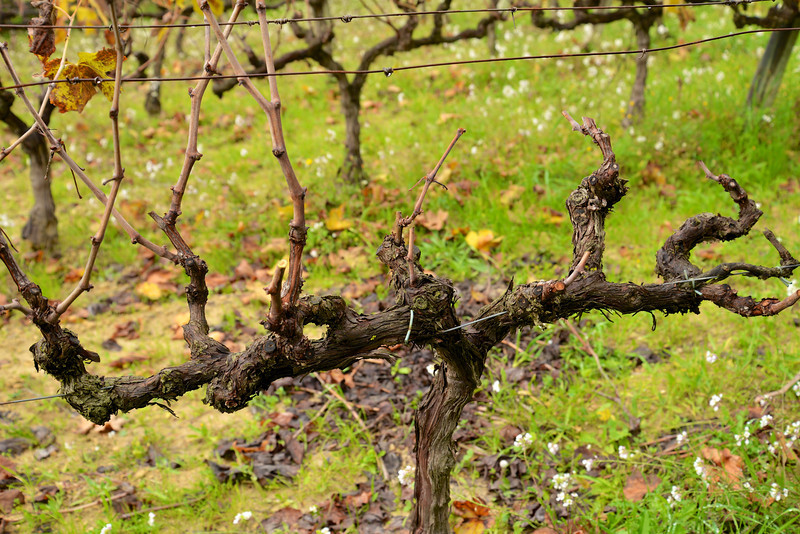 There Are Four Branches on Each Side of This Vine Each Branch Will Yield Two Bunches of Grapes.
