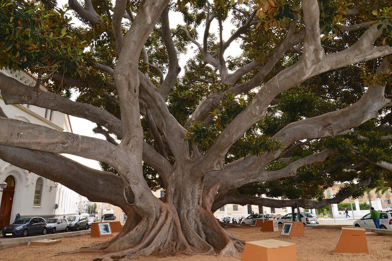 Ficus Tree Overlooking Playa de la Caleta.