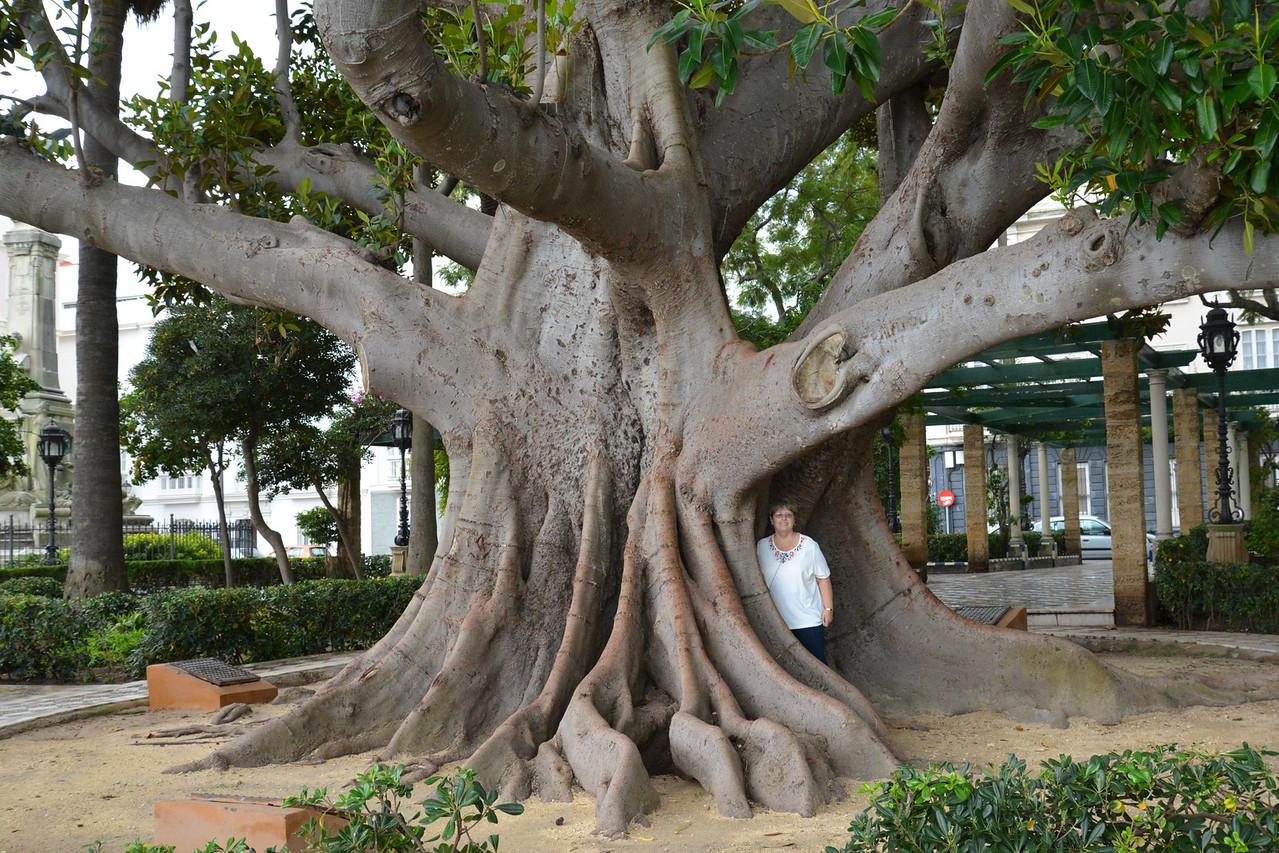 Immense Ficus Trees in Cadiz.