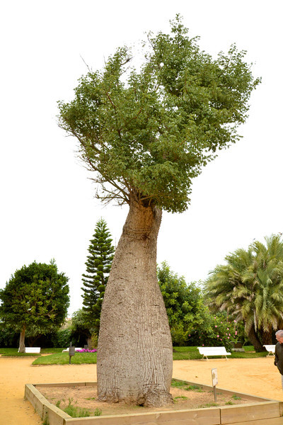 Chorisia Tree.