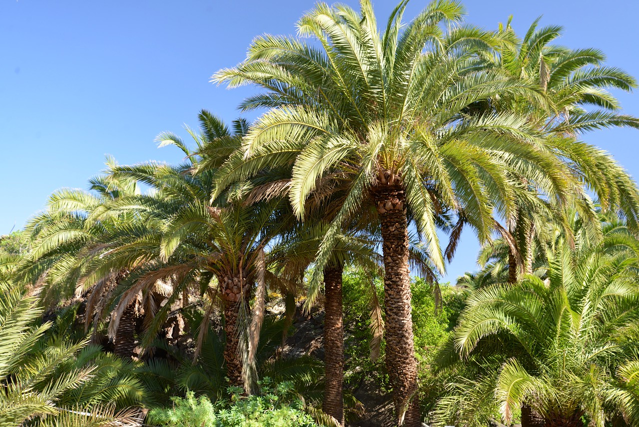 When Palm Fronds Begin To Point Down, Tree Yields Milk.