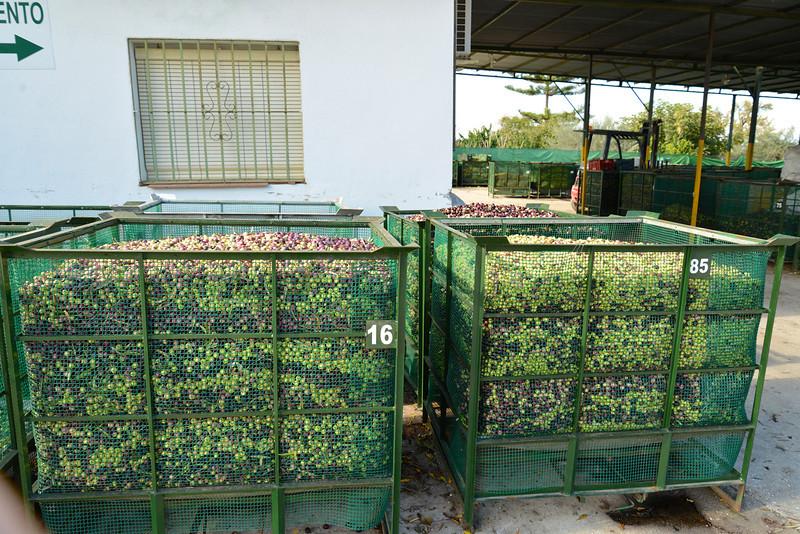 Baskets of Olives.