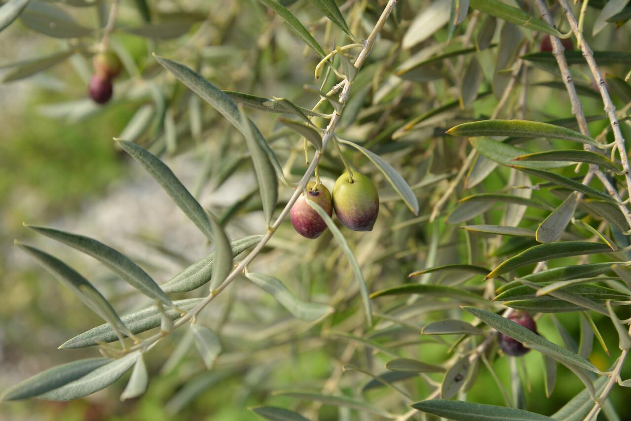 Green Olives Beginning To Turn Black.