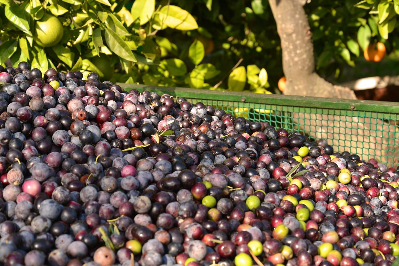 Black Olives Are Older Green Olives.