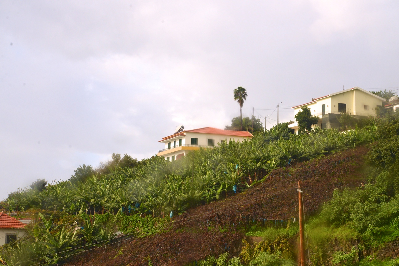 Banana Trees and Grapes Growing Side by Side.