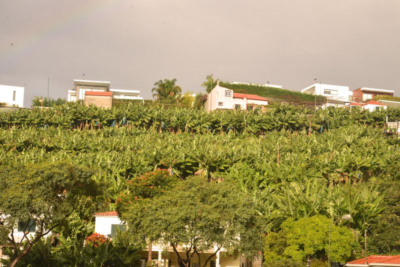 Banana Trees.