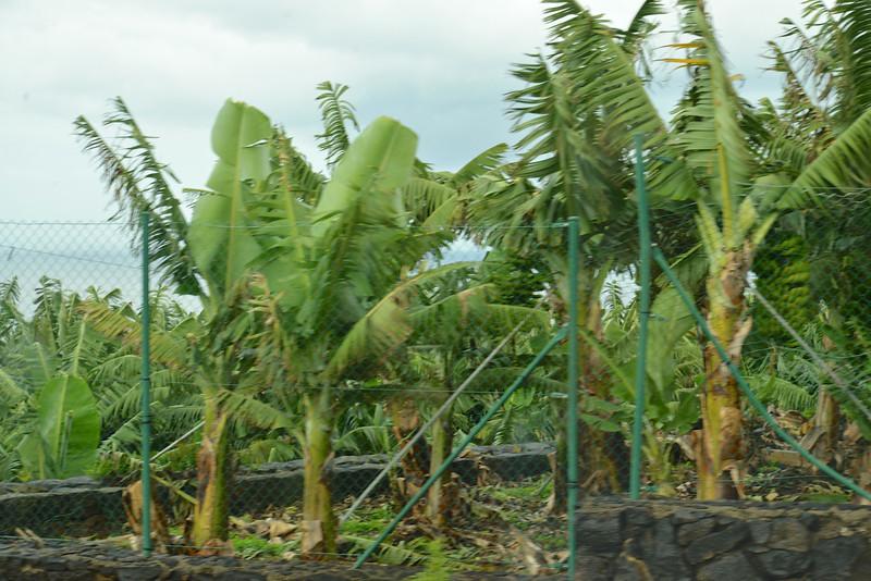 More Banana Trees.