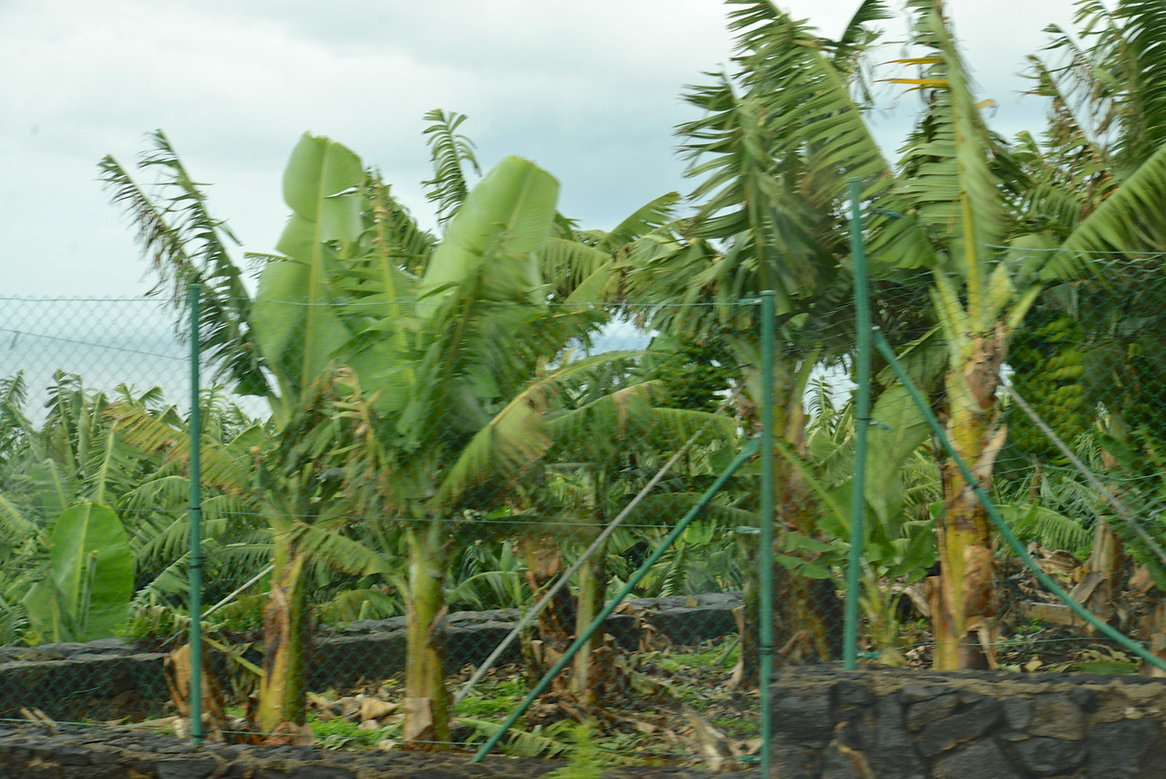 More Banana Trees.